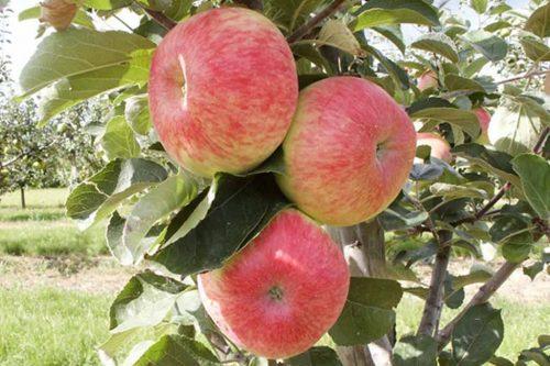 Obsthof am Steinberg - Apfelsorte - Müschens Rosenapfel