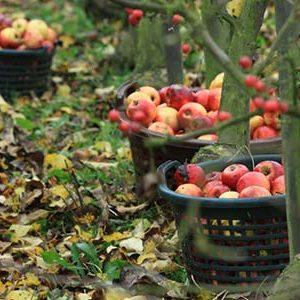 Obsthof am Steinberg - Äpfel herbsten